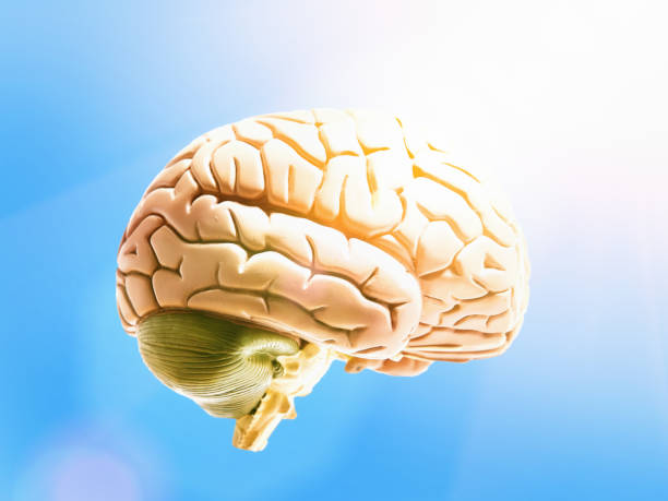 Blue-sky thinking: model brain floating in sunny air stock photo