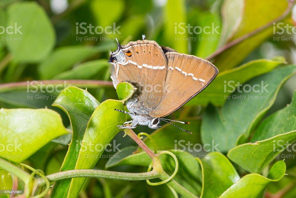 Blue-spot  Hairstreak resting upside down on leaf royaltyfri bildbanksbilder