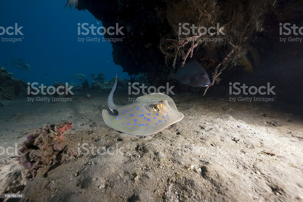 bluespotted stingray and ocean royalty-free stock photo