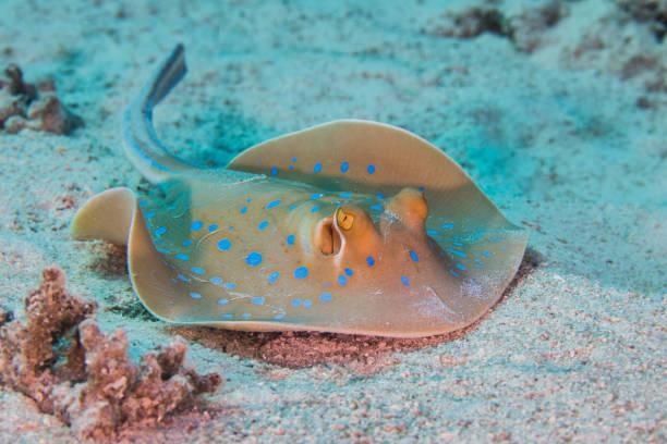 Bluespotted stingray (Taeniura lymma) or a ribbontail ray stock photo