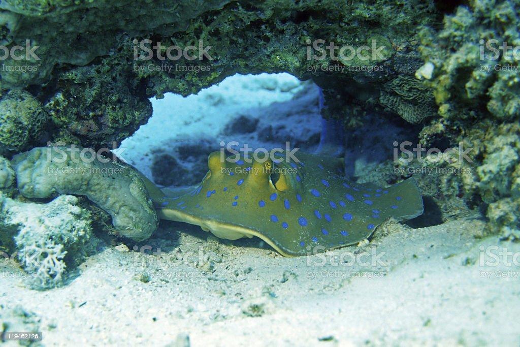 Bluespotted Stingray stock photo