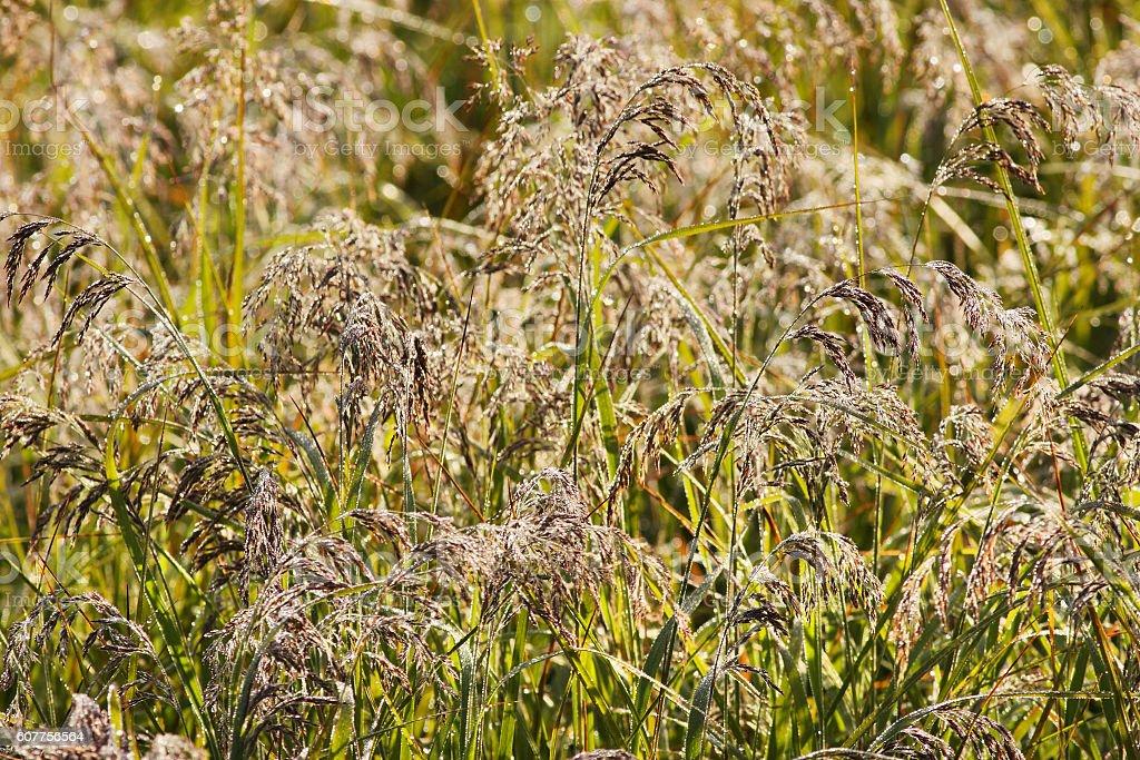 Bluestem Tall Grass Schizachyrium Frost Covered stock photo