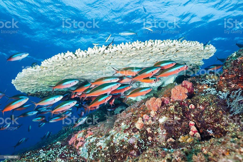 Bluestreak Fusilier School Under Table Coral, Komodo National Park, Indonesia stock photo