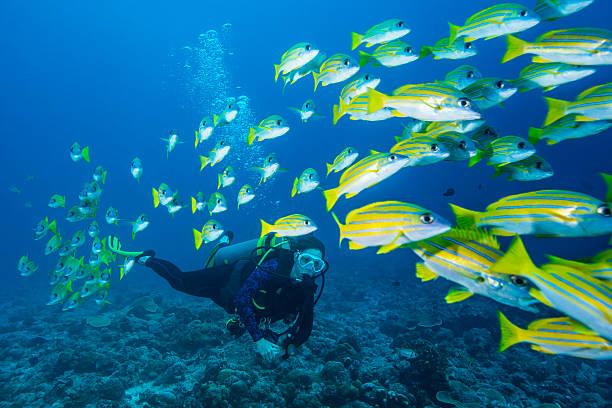 BlueStripe vivaneau et plongeur-Palaos - Photo