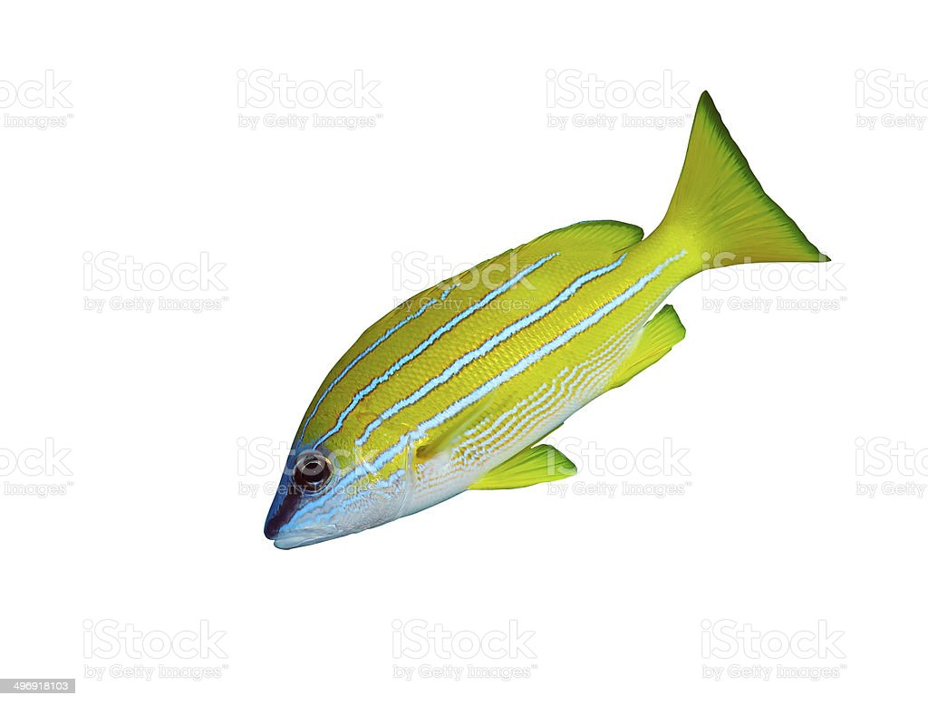 Bluestripe snapper stock photo