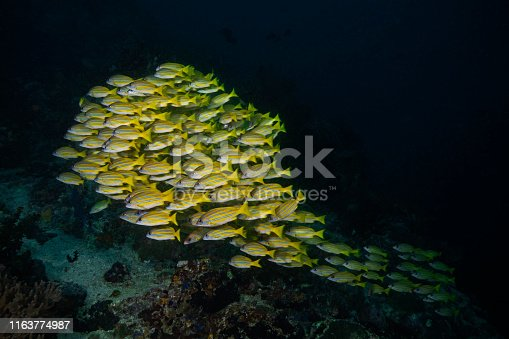Underwater wide angle photography from a school of bluestripped snapper.