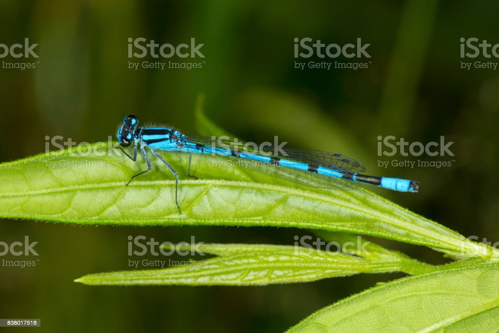 Bluet damselfly perched on a leaf in New Hampshire. stock photo