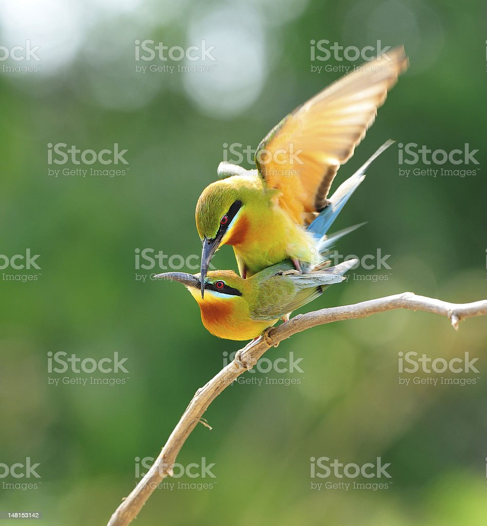 Blue-Tailed Bee Eater Mating stock photo