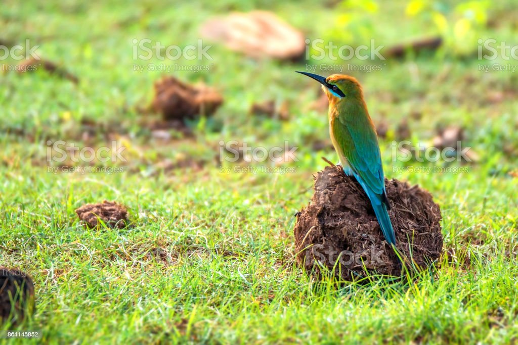 Blue-tailed Bee-eater or Merops philippinus royalty-free stock photo