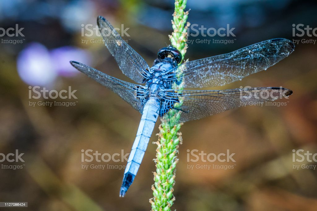 Blue-Tailed Forest Hawk, Top View stock photo