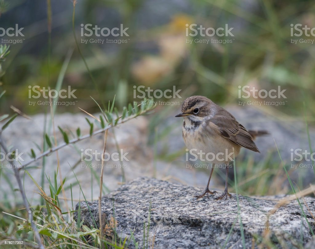 Bluethroat (Luscinia svecica) in Autumn fall stock photo