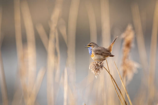 Bluethroat Bluethroat singing in a reed field songbird stock pictures, royalty-free photos & images