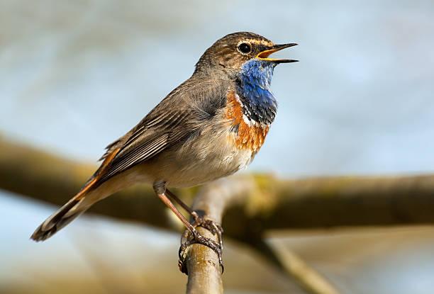 gorgebleue (luscinia svecica) - oiseau chanteur photos et images de collection