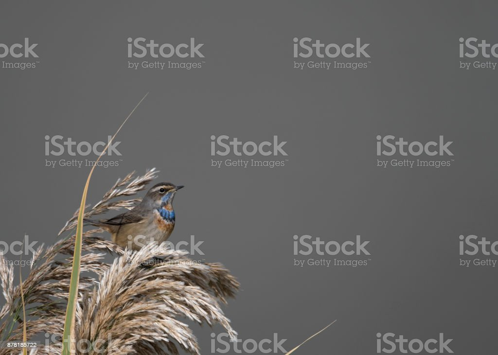 Bluethroat (Luscinia svecica) stock photo