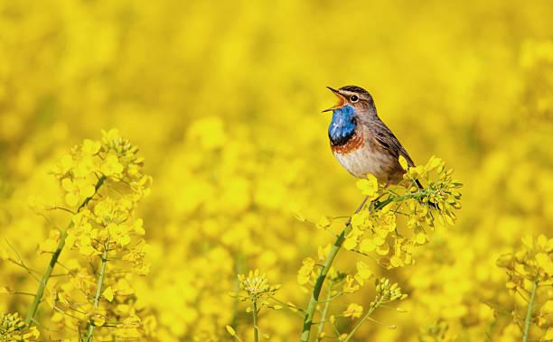 Bluethroat singing in a rape field picture id588575014?b=1&k=6&m=588575014&s=612x612&w=0&h=l2vmwodrfuerstp3eidxj6g00ozjdnukppaal5bdynk=