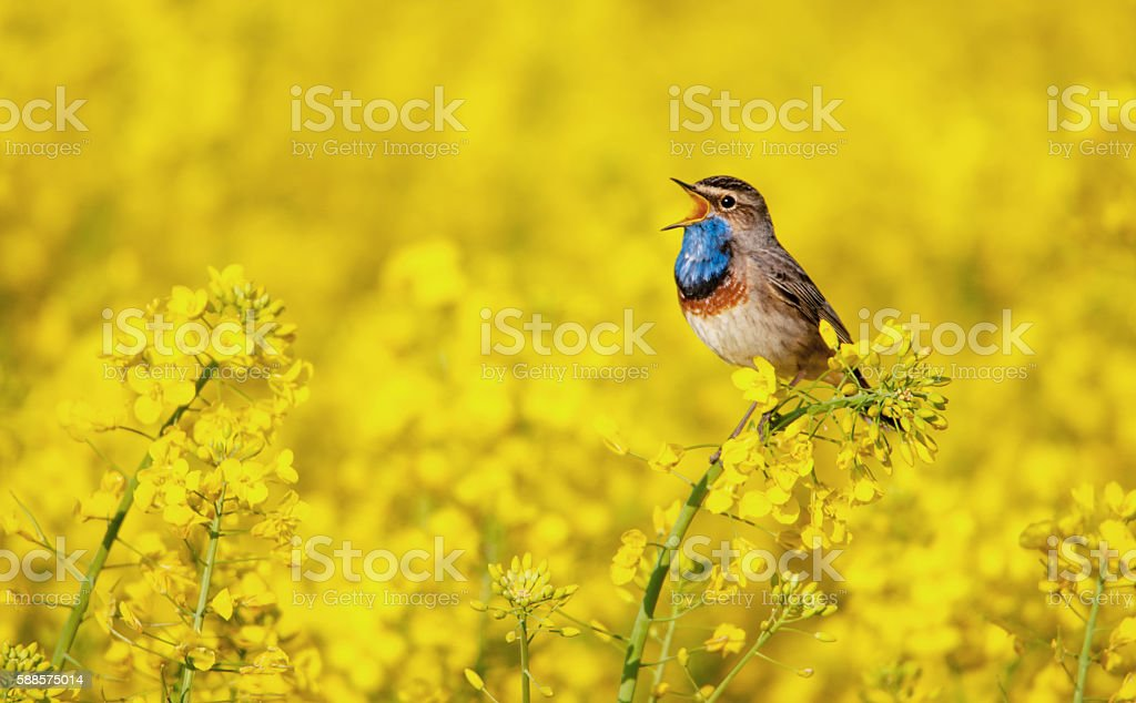 bluethroat singing in a rape field stock photo