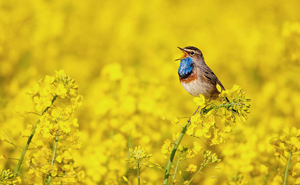 bluethroat singing in a rape field - bird stock photos and pictures