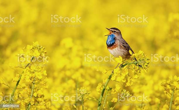 Photo of bluethroat singing in a rape field
