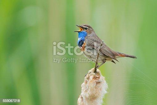 istock Bluethroat (Luscinia svecica) singing in reed, The Netherlands 533067018