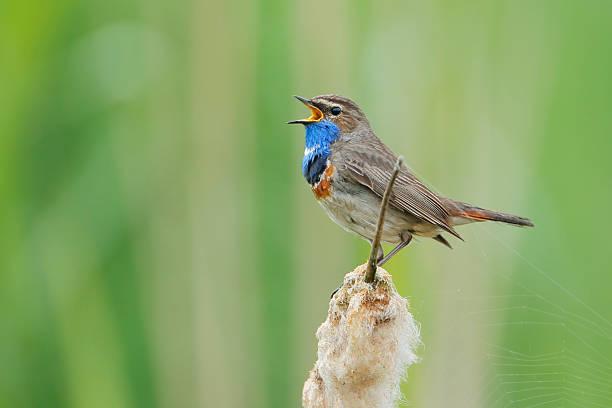 Bluethroat singing in reed the netherlands picture id533067018?b=1&k=6&m=533067018&s=612x612&w=0&h=tpbwpz7venivrk1ee70td4253h4 nsdhvuhz2xstqrk=