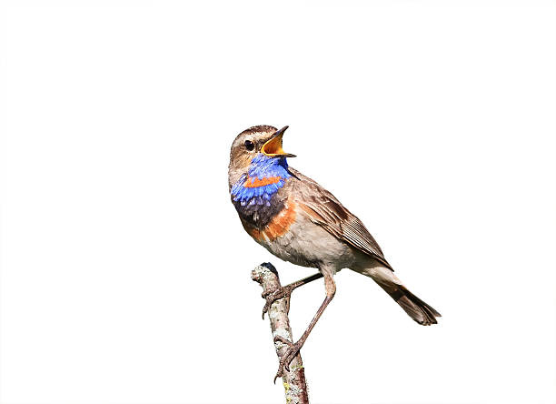 Bluethroat singing on a branch on white  background - Photo