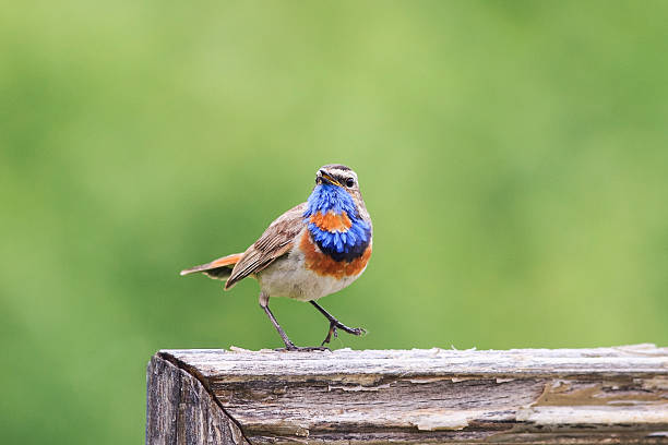 Bluethroat sings one hundred on a wooden fence - Photo