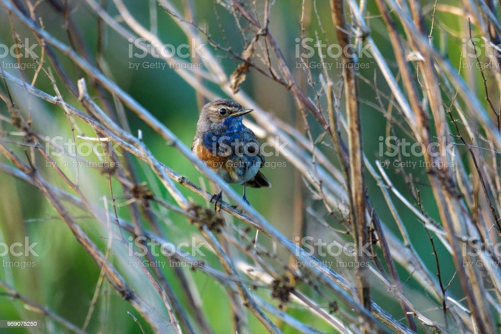 Bluethroat sitting in a bush stock photo