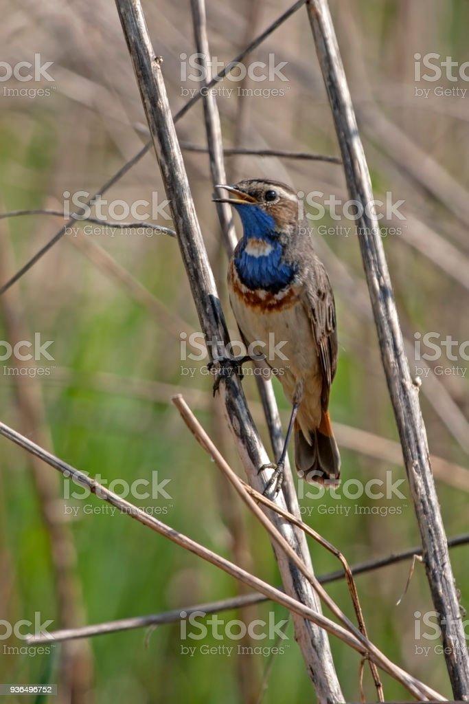 Bluethroat sitting on the reeds stock photo