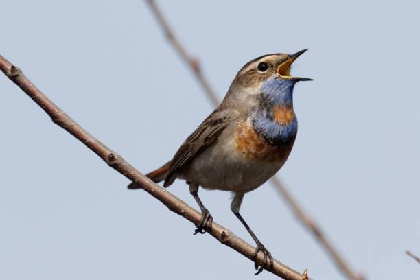 Bluethroat standing on the reed picture id952964936?b=1&k=6&m=952964936&s=612x612&w=0&h=85cbadwzk8etyeyrlhifpevqu9fk edeflov8xbmmvi=