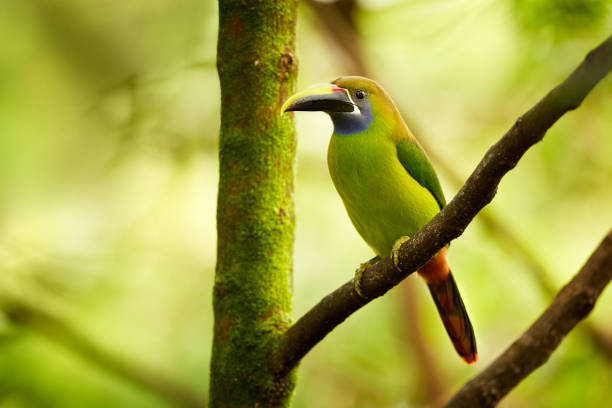 Blue-throated Toucanet, Aulacorhynchus caeruleogularis. The smallest toucan in Costa Rica. Exotic animal in tropical forest. stock photo