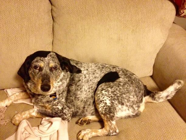 bluetick coonhound on sofa stock photo