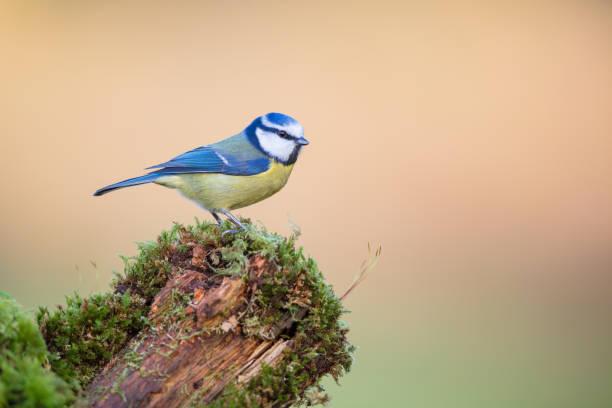 bluetit bij zonsopgang - zangvogel stockfoto's en -beelden