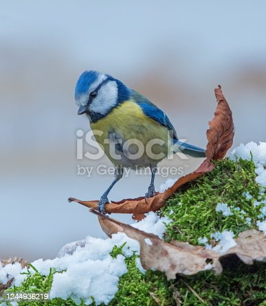 Bluetit in winter,Eifel,Germany. Please see more similar pictures of my Portfolio. Thank you!