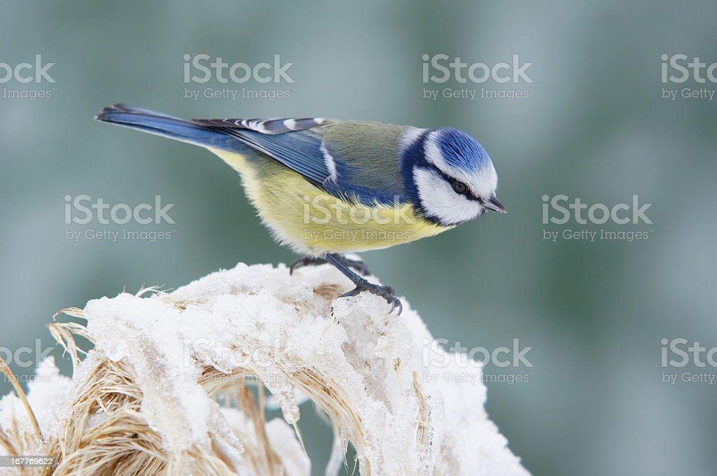 Bluetit in winter stock photo