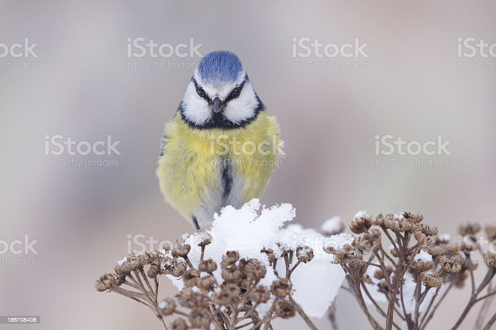 Bluetit in winter royalty-free stock photo
