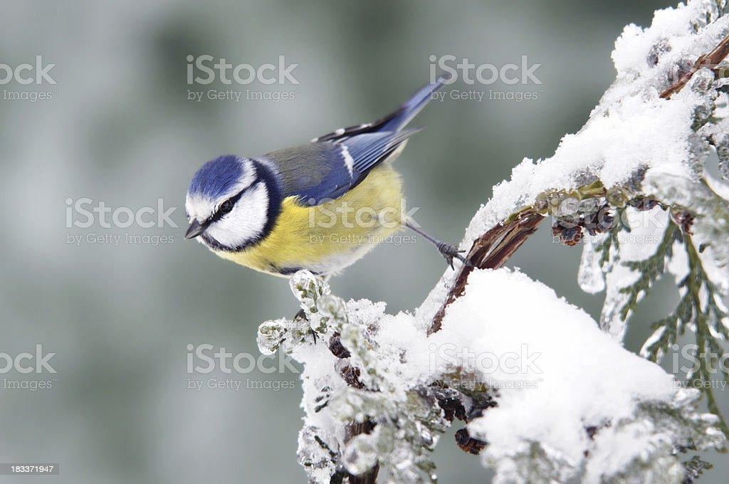 Bluetit in wintertime stock photo