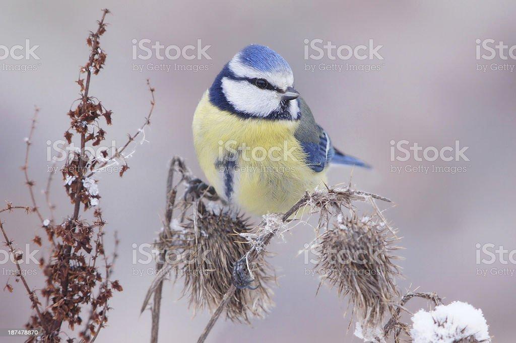 Bluetit in wintertime royalty-free stock photo