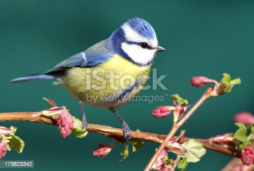 Bluetit in springtime.Please see more bird pictures from my Portfolio.Thank you!
