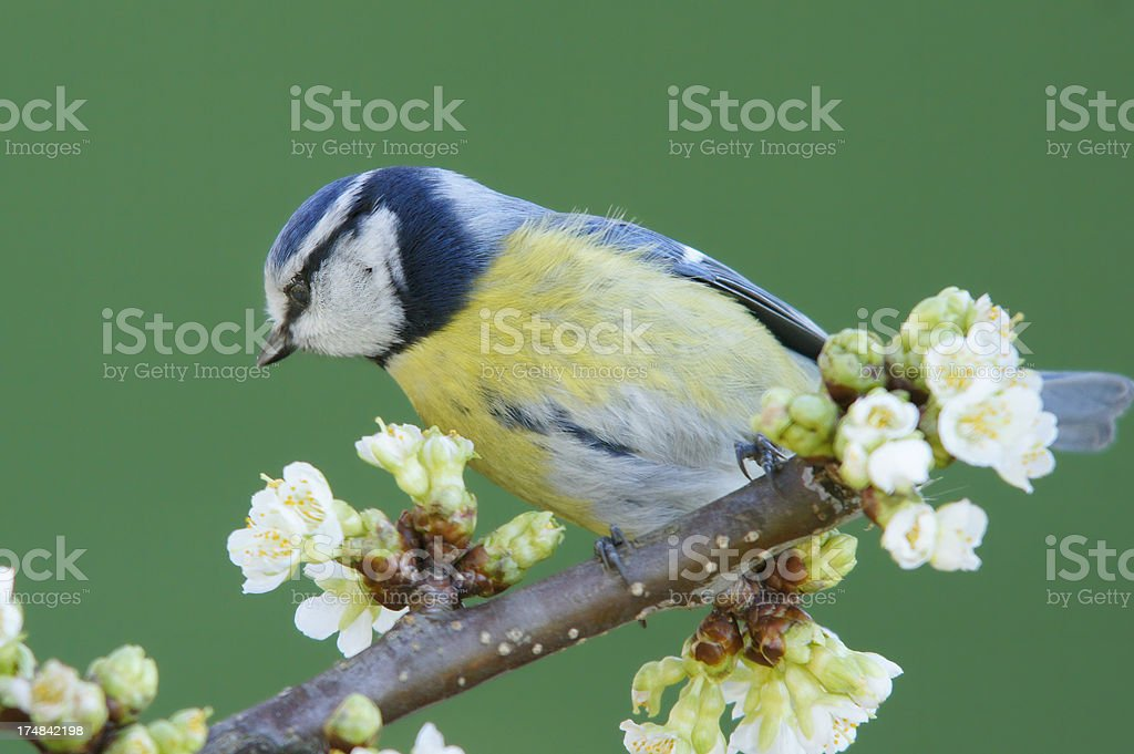 Bluetit on a blossoming twig royalty-free stock photo