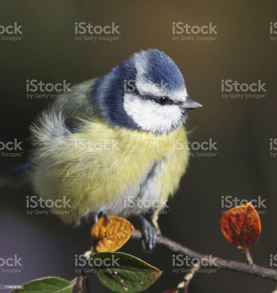 Bluetit on a twig royalty-free stock photo