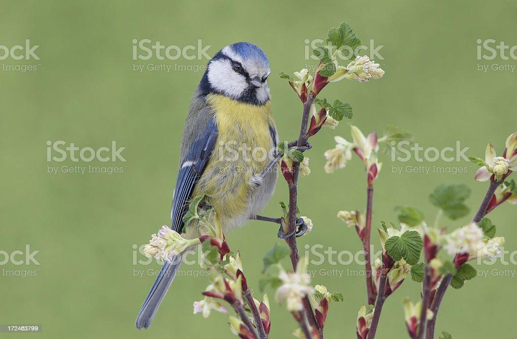 Bluetit on Ribes sanguineum royalty-free stock photo