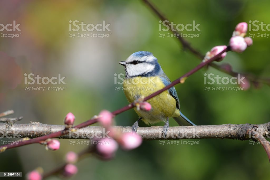 bluetit perching on a peach tree in bloom stock photo