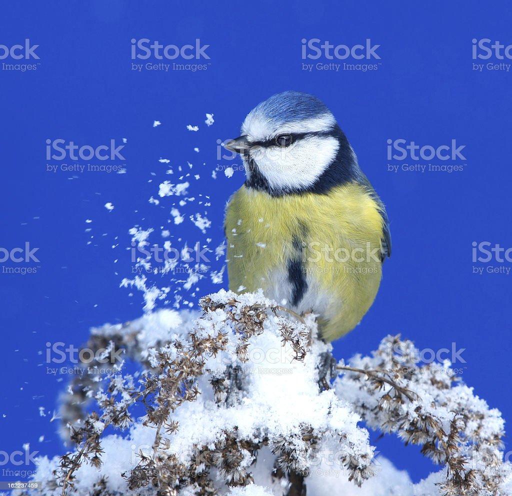 Bluetit with snow royalty-free stock photo