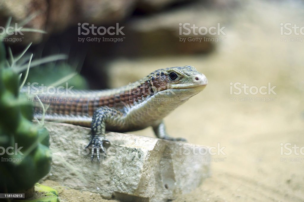 Blue-tongued skink royalty-free stock photo