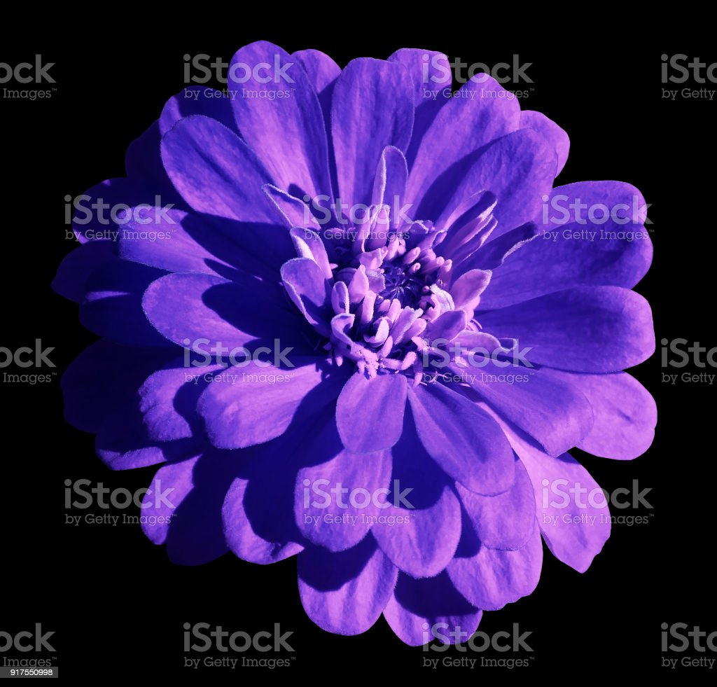 Blueviolet Daisy Flower Isolated On The Black Background With