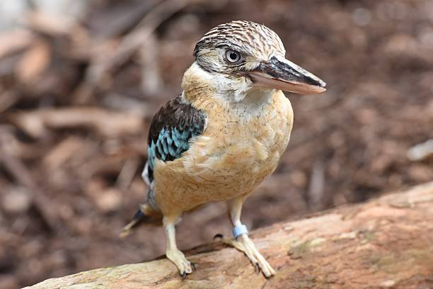Blue-winged kookaburra stock photo