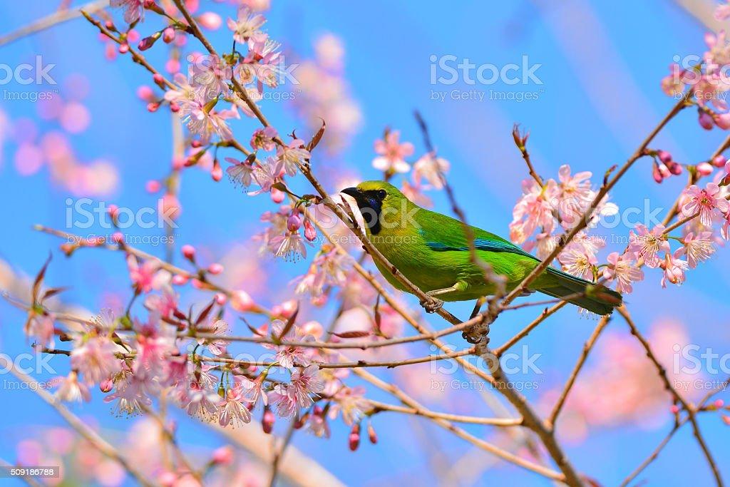 Blue-winged Leafbird on flower stock photo
