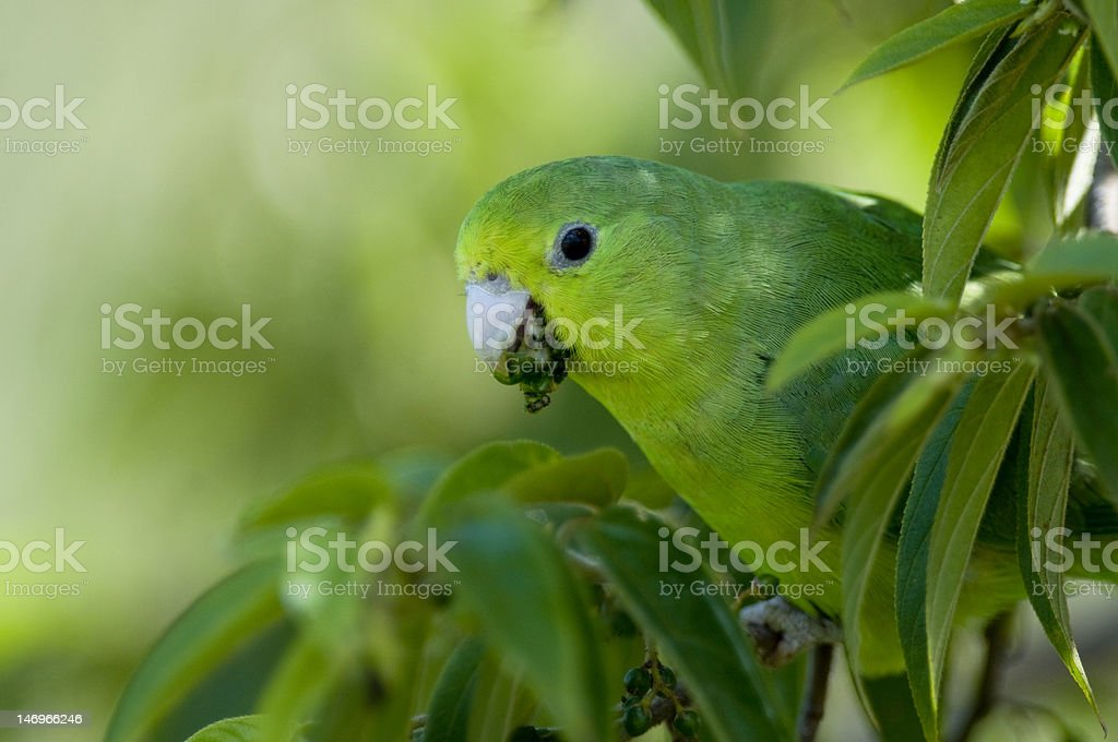 Blue-winged Parrotlet stock photo