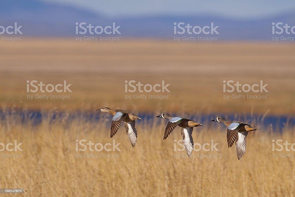 Blue-winged Pursuit stock photo