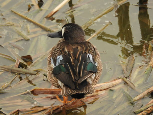 Blue-winged teal at rest in his habitat stock photo